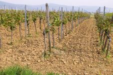 Free Wineyards In Spring Stock Photography - 780182
