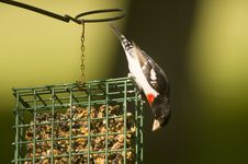 Free Red Breasted Grosbeak On Suet Feeder Royalty Free Stock Photography - 780267