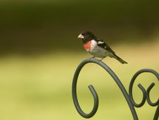 Red Breasted Grosbeak Perched On A Post Royalty Free Stock Images