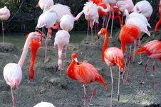 Free Pink Flamingos Stock Images - 780284