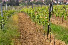 Free Wineyards In Spring Stock Image - 780291
