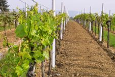 Free Wineyards In Spring Royalty Free Stock Photography - 780327