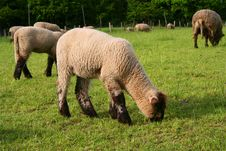 Free Sheep Herd Royalty Free Stock Photography - 780427