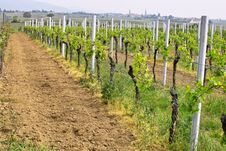Free Wineyards In Spring Royalty Free Stock Images - 780449