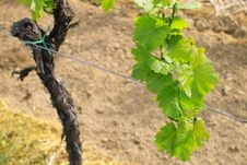 Free Grapes In Spring Stock Photos - 780723