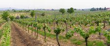 Free Panorama Of Wineyards In Spring Royalty Free Stock Image - 780756