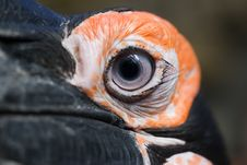Free African Ground Hornbill Stock Photography - 781262