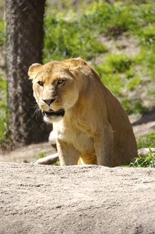 Free Lion Stock Photography - 781502