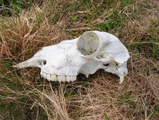 Sheep Skull Royalty Free Stock Images