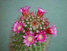 Free Blossoming Cactus Of Sort Mammillaria. Royalty Free Stock Photos - 782048