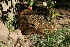 Free ECHIDNA Royalty Free Stock Photo - 782165