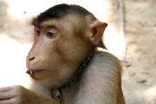 Free Monkey Eating Royalty Free Stock Images - 782179