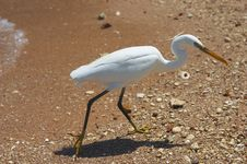 Free White Heron Royalty Free Stock Photos - 782218