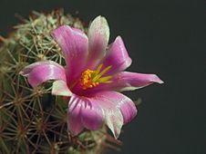 Free Blossoming Cactus Mammillaria Svingla. Stock Photos - 782583