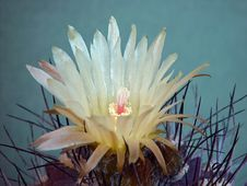 Free Blossoming Cactus Of Sort Neochilenia. Stock Photo - 782600