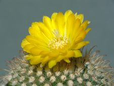 Free Blossoming Cactus Of Sort Parodia. Royalty Free Stock Photography - 782617