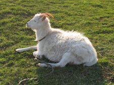 Free Blanching Nanny Goat 3 Stock Image - 782661