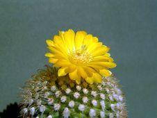 Free Blossoming Cactus Of Sort Parodia. Stock Photos - 782683