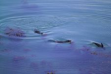 Seals Fight In Blue Water Royalty Free Stock Photos