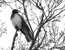 Free Crow Stock Photo - 782870