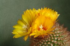 Free Blossoming Cactus Parodia Commutans. Royalty Free Stock Photography - 782967