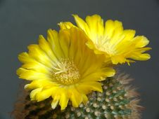 Free Blossoming Cactus Of Sort Parodia. Royalty Free Stock Photography - 782997