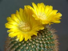 Free Blossoming Cactus Of Sort Parodia. Stock Photography - 783012