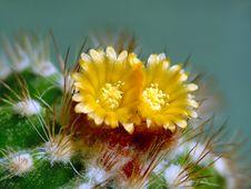 Free Blossoming Cactus Parodia Camosa. Royalty Free Stock Photography - 783017