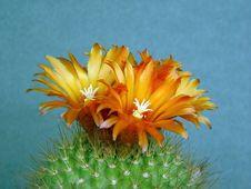 Free Blossoming Cactus Parodia  Faustiana. Stock Image - 783021