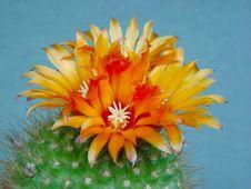 Free Blossoming Cactus Parodia  Faustiana. Royalty Free Stock Photography - 783067