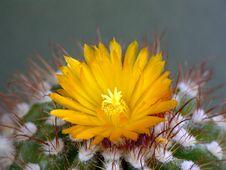 Free Blossoming Cactus Parodia Mairana. Stock Photo - 783090