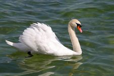Free Beautiful Swan Stock Photography - 783312