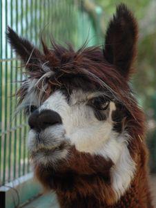 Free Lama Royalty Free Stock Photo - 784115