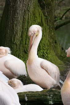 Free Group Of Pelicans Stock Photos - 784143