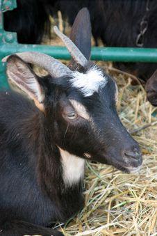 Free Black Goat Stock Image - 785261