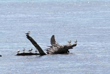 Free Birds On A Floating Trunk Royalty Free Stock Photo - 785275