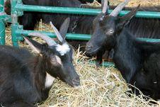 Free Black Goats Stock Photography - 785292