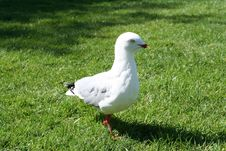 Free BEAKLESS BIRD Stock Photography - 785562