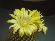 Free Blossoming Cactus Of Sort Parodia. Royalty Free Stock Image - 785616