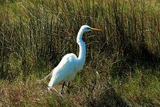 Free Great Egret Royalty Free Stock Photography - 785667