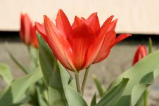 Free Tulips In Bloom Royalty Free Stock Photos - 786058