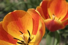 Free Tulips In Close-up Stock Photo - 786120