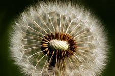 Dandelion With Pollen Stock Photography