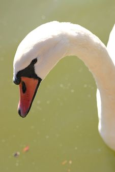 Free Mute Swan Head Royalty Free Stock Image - 786616