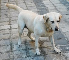 Free Cute Labrador Stock Images - 787104