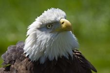 Free Bald Eagle (Haliaeetus Leucocephalus) Rouse Royalty Free Stock Photo - 787125