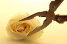 Free Rose Stock Photo - 787310