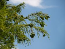 Free Cone Tree Royalty Free Stock Image - 787706