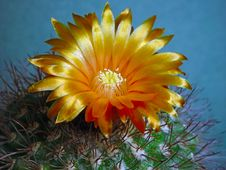 Free Blossoming Cactus Parodia Subtilihamata. Stock Images - 787824