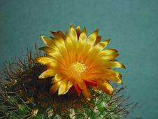 Free Blossoming Cactus Parodia Subtilihamata. Royalty Free Stock Image - 787826